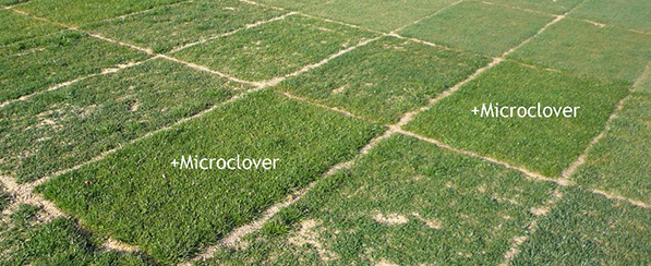 how to cut clover lawn