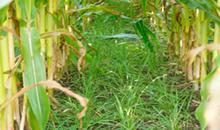 Grass performs well as catch-crop in maize