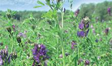 Two new alfalfa varieties on the market
