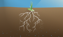 Deep roots fight spring drought