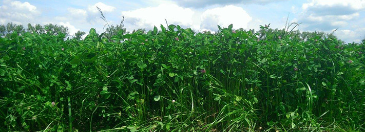 Research Proves The Worth Of Red Clover
