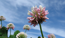 Breeder's Corner - red clover