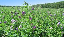 Alfalfa adds value to the farm