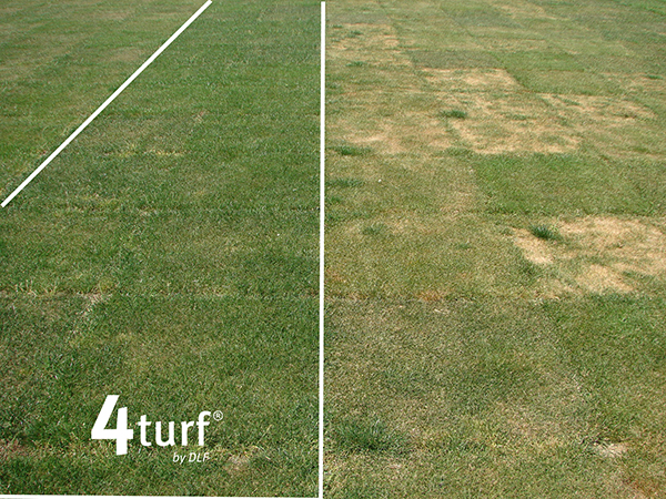 4turf (tetraploid perennial ryegrass) compared to diploid perennial ryegrass