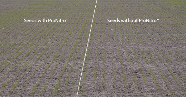 Seeds with ProNitro and seeds without ProNitro