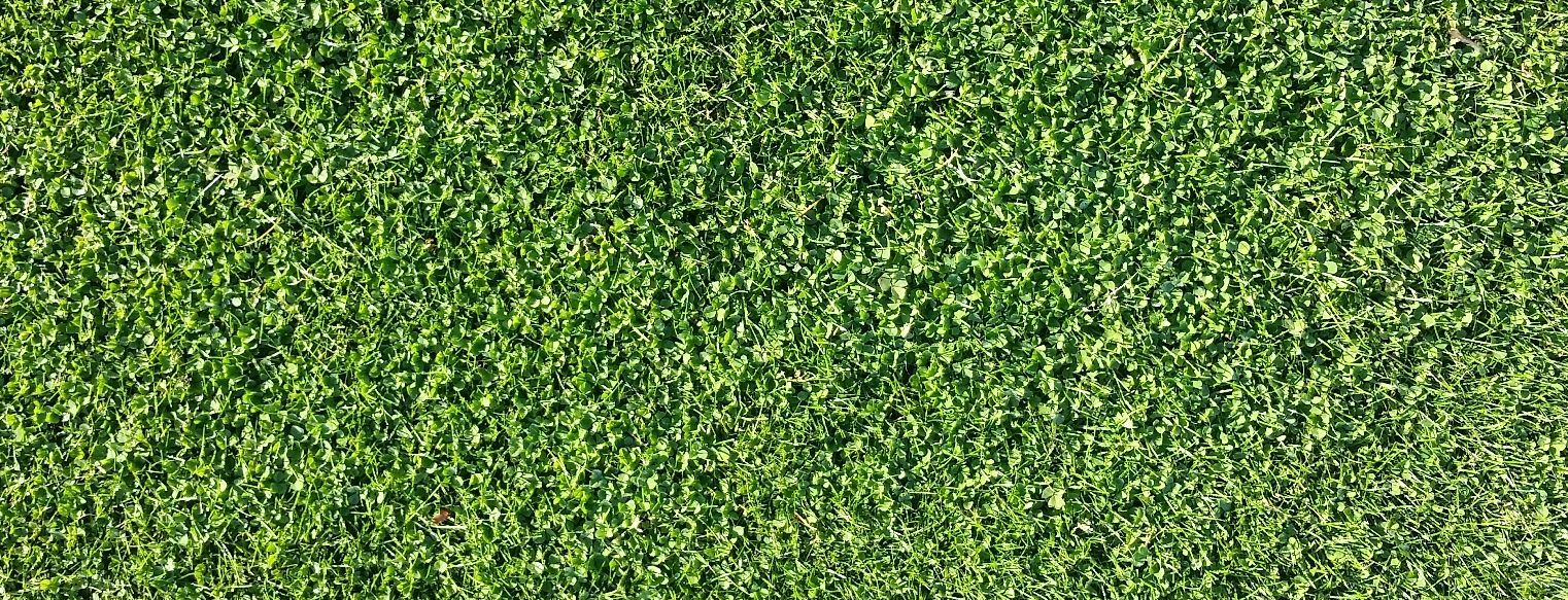 Successful overseeding of pure grass with Microclover®